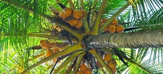 Lo zucchero di cocco fa bene o fa male for Pianta di cocco